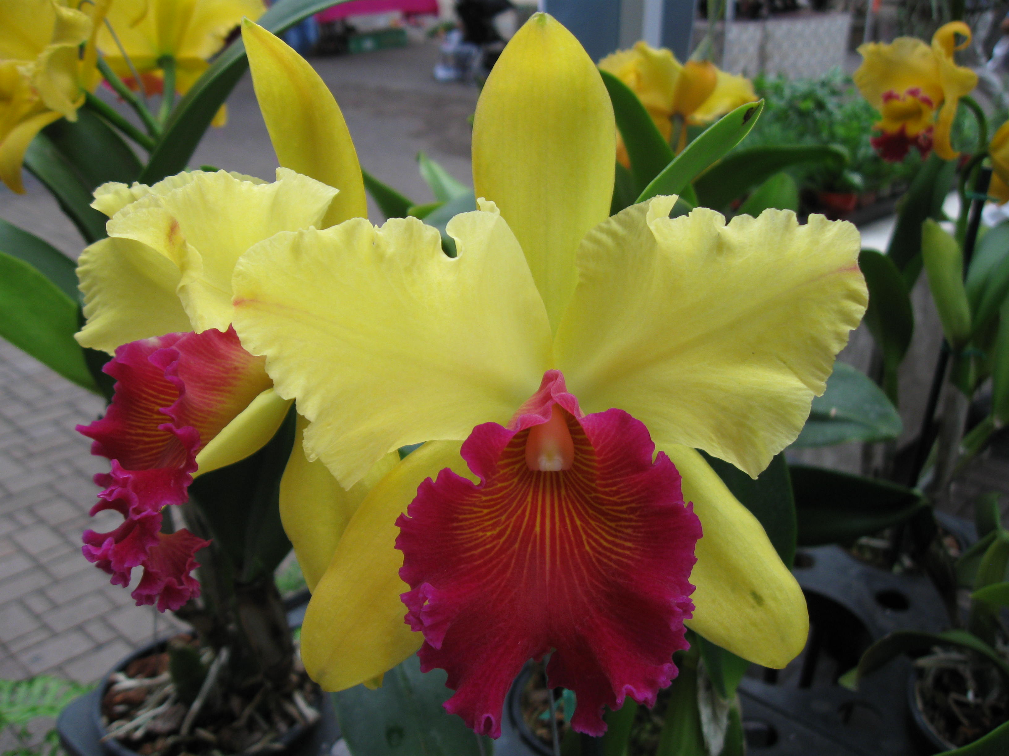 Care of Cattleya Orchids Orchid Care Neglect is Good